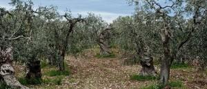 potatura degli ulivi