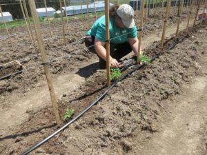 irrigazione-pomodori_NG3