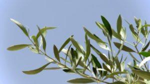 ramoscello d'ulivo